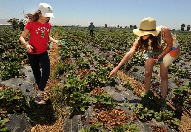 Strawberry picking in Camarillo - Storage unit experts' choice